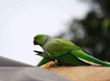 älskvärd papegoja Royaltyfri Foto