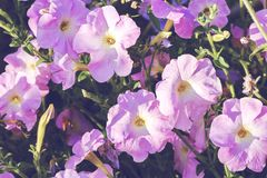 Älskvärd petunia i solig dag i gadenen vektor för detaljerad teckning för bakgrund blom- close upp Arkivfoton
