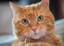 Älskvärd röd katt Royaltyfri Foto
