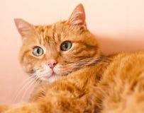 Älskvärd röd katt Arkivbild