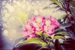 Älskvärd rhododendron som blommar med bokeh, slut upp, trädgården blommar Arkivfoto