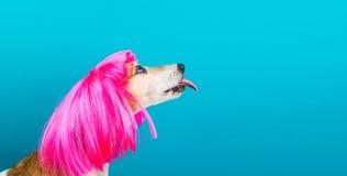 Älskvärd rolig hund i ljus rosa peruk med att slicka för tunga background card congratulation invitation Mode och gyckel arkivfoto