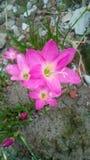 Älskvärd rosa färgblomma Royaltyfria Bilder