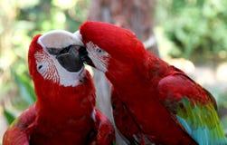 Älskvärd scharlakansrött för papegojor Macaw.Care av älskling. Royaltyfri Fotografi