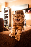 Älskvärd skotsk veckkatt Royaltyfri Foto