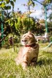 Älskvärd skotsk veckkatt i natur Royaltyfria Foton