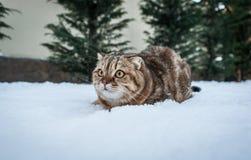 Älskvärd skotsk veckkatt i snö Royaltyfria Foton