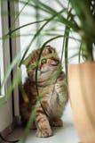Älskvärd skotsk veckkatt/kattunge Royaltyfri Fotografi