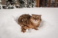 Älskvärd skotsk veckkatt som spelar i snö Fotografering för Bildbyråer