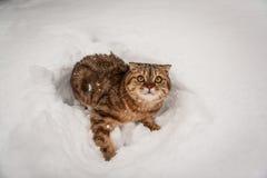 Älskvärd skotsk veckkatt som spelar i snö Royaltyfri Fotografi