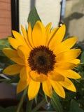 Älskvärd solros arkivfoton