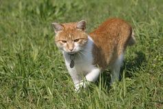 Älskvärd strimmig kattkattungejakt på gräsmattan Royaltyfria Foton