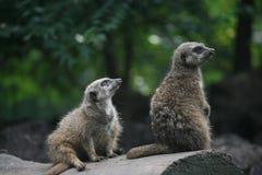 Älskvärd suricate två Royaltyfria Bilder