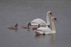Älskvärd svanfamilj med fågelungar Royaltyfri Foto
