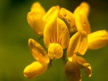 Älskvärd växande och slå ut gul lös blomma upp slut Arkivbild