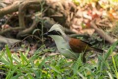 Älskvärd Vit-krönad Laughingthrush fågel Royaltyfri Bild