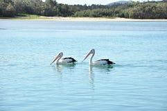 Älskvärda australiska pelikan i sjön Royaltyfri Foto