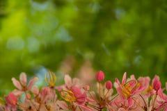 Älskvärda blommor av Cassiabakerianaen fotografering för bildbyråer