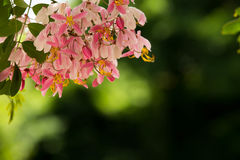 Älskvärda blommor av Cassiabakerianaen Royaltyfri Fotografi