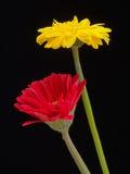 Älskvärda blommor för guling- och rosa färggerberatusensköna Arkivbilder