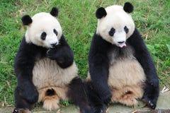 älskvärda pandas två Royaltyfri Fotografi