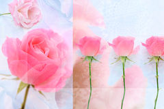 älskvärda rosa ro Arkivfoton