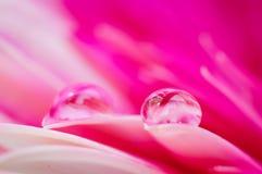 Älskvärda rosa tusenskönafärger i vattendroppar Arkivfoto