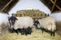Älskvärda sheeps Arkivfoto