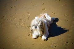 Älskvärda Shih-Tzu som kopplas av på stranden royaltyfri foto