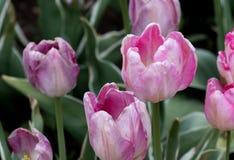 Älskvärda skuggor av rosa färger gör dessa härliga tulpan ett välkommet tillägg till en Michigan USA att arbeta i trädgården Fotografering för Bildbyråer