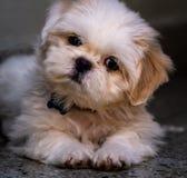 Älskvärda vita Shih Tzu Puppy royaltyfri foto