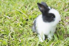 Älskvärt behandla som ett barn 2 veckor thailändsk kanin Arkivfoto