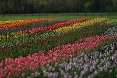 Älskvärt fält av tulpan i Holland, Michigan under Tulip Time Festival royaltyfria foton