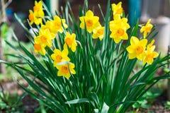 Älskvärt fält med ljusa gula och orange påskliljor (pingstliljan) Royaltyfri Fotografi