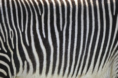 Älskvärt Grevyi för Equus för sebra för Grevy ` s slut upp av randig päls Royaltyfri Foto