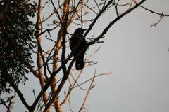 Älskvärt korpsvart på ett vinterträd arkivfoton