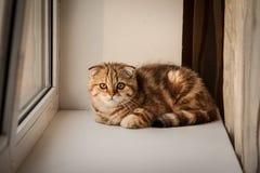 Älskvärt skotskt spela för för veckkatt/kattunge Royaltyfria Bilder