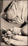 Älskvärt tafsar av en sharpei Royaltyfri Bild