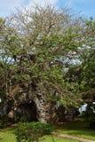 Älter und am größten in 500 Jahren alten Baobabbaum in Kenia Stockfotografie