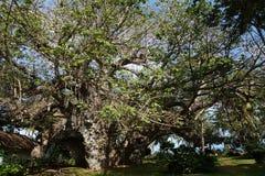 Älter und am größten in 500 Jahren alten Baobabbaum in Kenia Stockbilder
