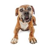 Ältere Boxer-Hundeniederlegung Lizenzfreie Stockfotografie
