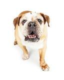 Ältere Bulldogge, die vorwärts auf Weiß geht Stockfotos