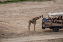 Ältere Dame Feeds eine Giraffe ein Grashalm stockfotografie