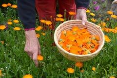 Ältere Frau übergibt die Ernte frischen Ringelblume Calendula medizinische Blumen Lizenzfreie Stockbilder