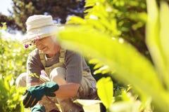 Ältere Frau, die in ihrem Garten arbeitet Stockbild