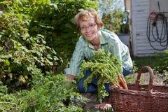 Ältere Frau, die Karotten erntet Lizenzfreie Stockbilder