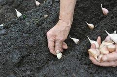Ältere Frau, die Knoblauch pflanzt lizenzfreie stockfotos
