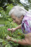 Ältere Frau, die rosa Rose im Garten betrachtet Lizenzfreie Stockfotos