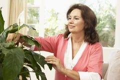 Ältere Frau, die um Houseplant sich kümmert Stockfoto