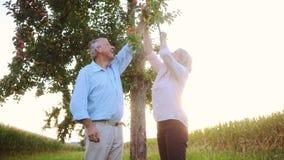Ältere Frau und Mann, die Äpfel von einem Baum zupft stock video